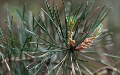 Wald-Kiefer in der Psycho-Aromatherapie